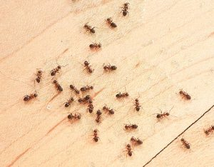 How do i get rid of ants in grass