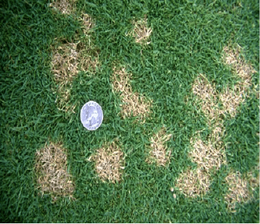 How to treat dollar spot fungus